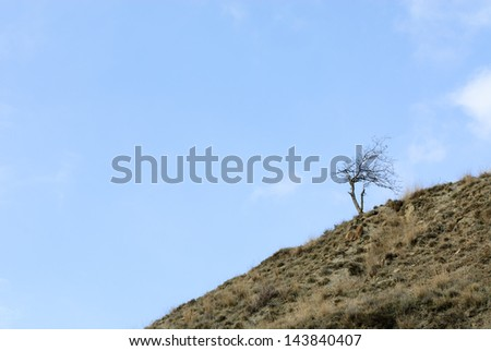 Solitude tree growing on a slope of Black Sea shores