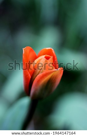 Solo blooming red tulip bourgeon Photo stock ©