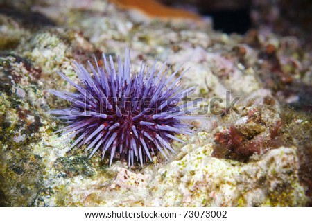 Solo purple Sea Urchin on reef