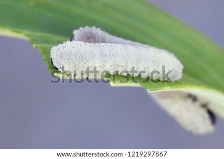 Solomon's seal sawfly  larvae, Phymatocera aterrima, defoliating garden pests