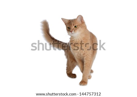 Fawn Colored Cat Somali cat fawn color isolated on white background - stock photo