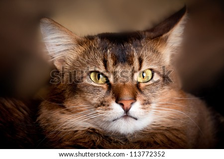 Somali cat in a shadow