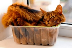 Somali cat lie inside transparent plastic box