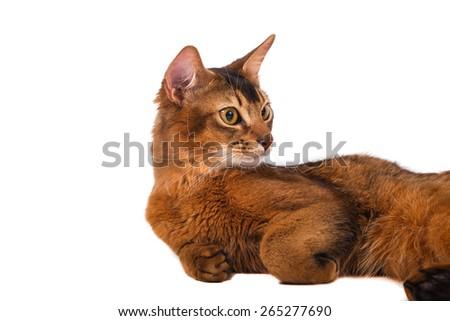Somali cat on a white background. Cat lying.