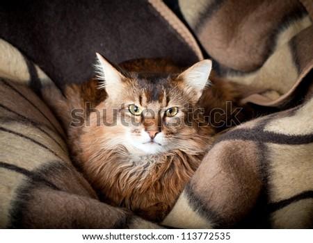 Somali cat on dark background