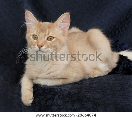 Somali cat on navy background