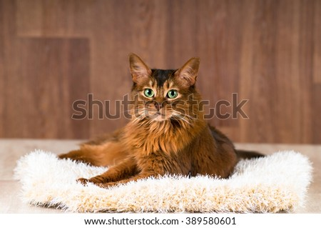 Somali cat portrait on fluffy bed lying and looking at camera Zdjęcia stock ©