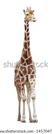 Somali giraffe (Giraffa camelopardalis) standing isolated on white background