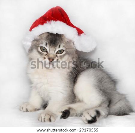 somali kitten wearing a santa hat