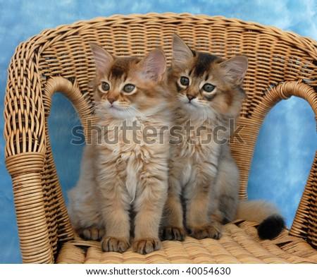 somali kittens sitting on a wicker chair