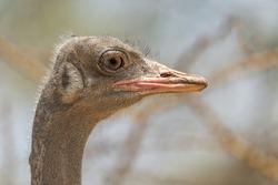 Somali Ostrich - Struthio molybdophanes, large flightless bird native to the Horn of Africa, Ethiopia.