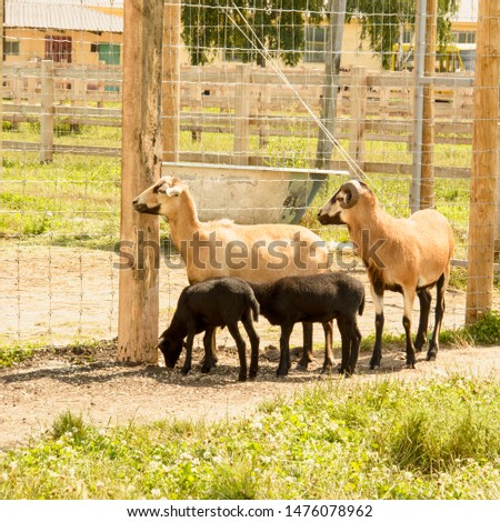 Somali sheep at the zoo in summer, Impala, roe deer, deer, big animals, farm, hacienda, milk, travel, vacation, village, herbivores, cattle, horned animals, llama #1476078962