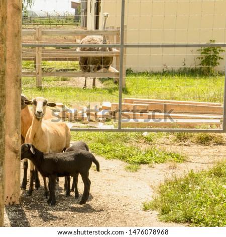 Somali sheep at the zoo in summer, Impala, roe deer, deer, big animals, farm, hacienda, milk, travel, vacation, village, herbivores, cattle, horned animals, llama #1476078968