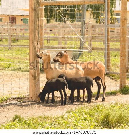 Somali sheep at the zoo in summer, Impala, roe deer, deer, big animals, farm, hacienda, milk, travel, vacation, village, herbivores, cattle, horned animals, llama #1476078971