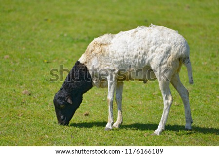 Somali sheep, or Berbera Blackhead, grazing seen from profile #1176166189