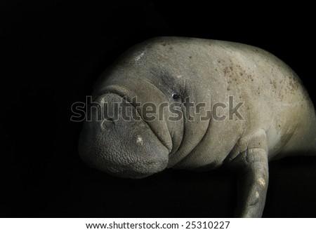 Somber Florida manatee (Trichechus manatus latirostrus) isolated on a black background - stock photo