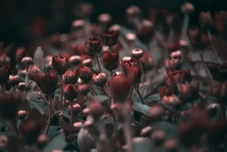 Somber  , Moody botanical garden with beautiful red flowers , Close up of flower buds with dark background , sombre floral composition.  baroque artistic rembrandt lighting style, fine art design