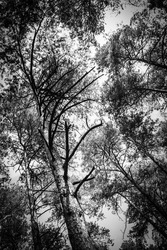 Sombre black and white image of pine trees in young forrest