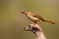 Sombre Greenbul (Andropadus importunus) perched on a branch in a game reserve in South Africa