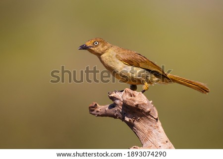 Sombre Greenbul (Andropadus importunus) perched on a branch in a game reserve in South Africa Photo stock ©