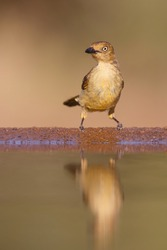 Sombre Greenbul (Andropadus importunus) sitting at a waterhole in a game reserve in South Africa