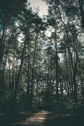 Sombre image of pine trees in young forrest
