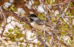 Sombre Tit (Poecile lugubris) It is a songbird living in forested and mountainous areas.