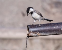 Sombre tit Poecile lugubris perched on a pipe with dripping water