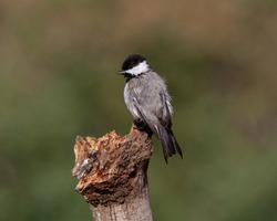 Sombre tit Poecile lugubris perched on a tree branch