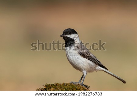 Sombre Tit standing on mossy stone Photo stock ©