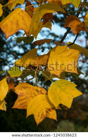 Some autumnleaves of Liriodendron tulipifera