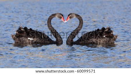 some black swan at the lake in Tasmania
