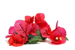 some bougainvillea flowers on a white background