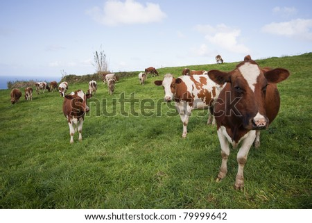 Some cows feeding in a field of grass.