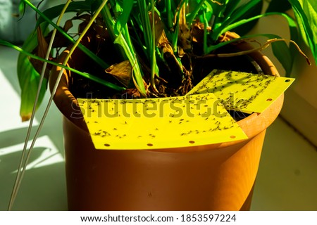 some dark-winged fungus gnats are stuck on a yellow sticky trap Photo stock ©