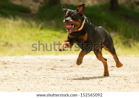 Some dogs likes to run free, this is a super educated dog that won the right to be off leash.