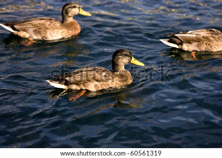 Some ducks swimming together in dark blue water.