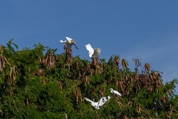 Some egrets are interacting with other egrets on the tree. White egret. Selective focus.