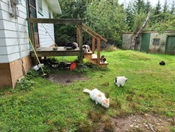 Some feral cats eating treats on a property.