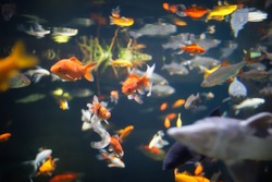 Some fishes and goldfishes with red, white and yellow colors in an aquarium with light and stones in paris near eiffel tower