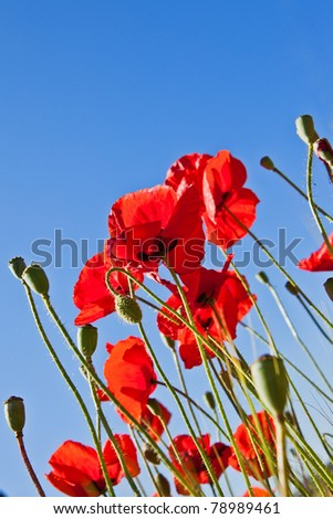 some flowers bright red poppy on background of blue sky
