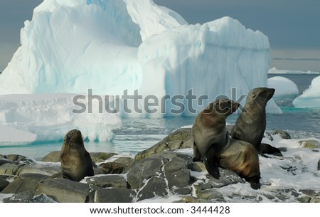 Some fur seals in front of a beautiful Antarctic iceberg scenery. Picture was taken on Adelaide Island during a 3-month Antarctic research expedition. - stock photo