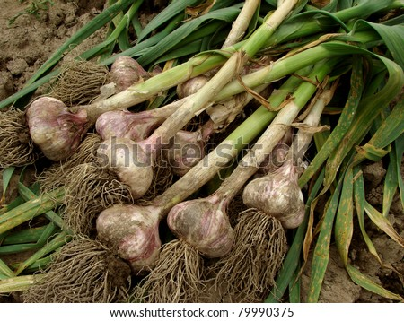 some garlic bulbs with tops on the ground