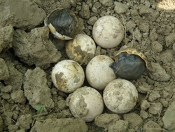 some indian flapshell turtle eggs found from the cultivated field,sundarban,west bengal,indai,asia.