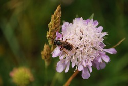 Some insect bee or fly sitting on Knautia flower with some grass seeds in background.