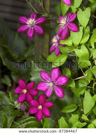 some intense colored violet Clematis flowers in dark blurry back