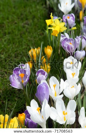 Some multi-colored snowdrops, crocuses , against a green grass.