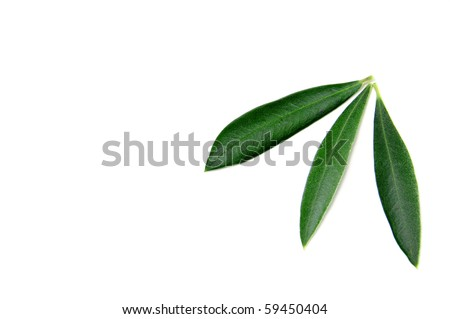 some olive tree leaves isolated on a white background