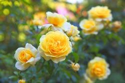 Some orange yellow roses in the garden