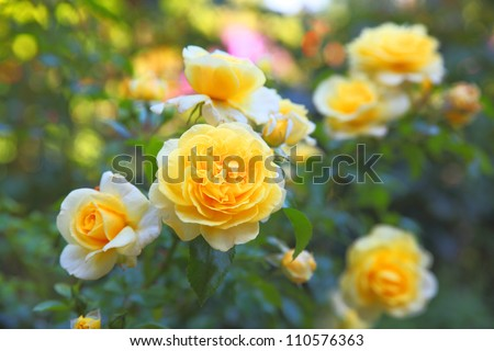 Some orange yellow roses in the garden